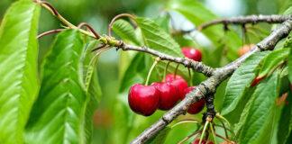 Poradnik sadzenia drzewek owocowych